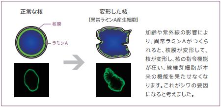変形した核 pola研究