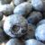 旬の巨大な国産完熟ブルーベリーを食す【門前おくでらブルーベリー園】